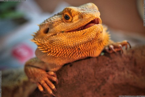 A photograph of Simon the Bearded Dragon that I used to have. Bearded dragons make great pets if you are looking to get into keeping lizards or other reptiles.